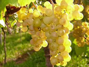 Globus-Bar Ratgeber, Weingläser, Weißweingläser, Weintrauben